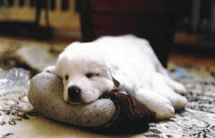 Anemia en los perros: cómo reconocerla y tratarla