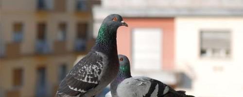 como-ahuyentar-las-palomas-del-balcon-de-forma-natural_z4f96