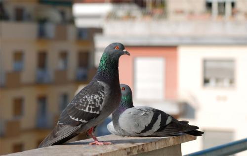 Cómo ahuyentar las palomas del balcón de forma natural