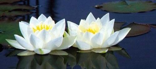 flor-de-loto-para-reactivar-el-colageno_7xheg