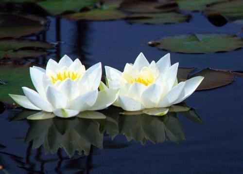 Flor de loto para reactivar el colágeno