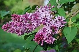 Lila: la flor que cura la presión arterial alta y relajamente y cuerpo
