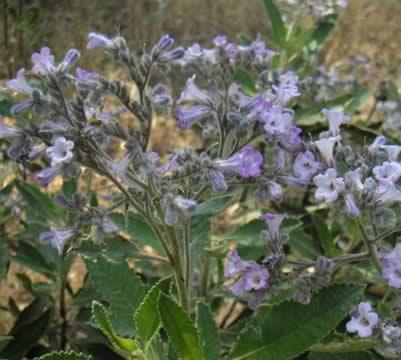 Yerba Santa, la flor que ayuda contra el decaimiento